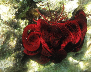 sleeping feather star by Chris Krambeck 